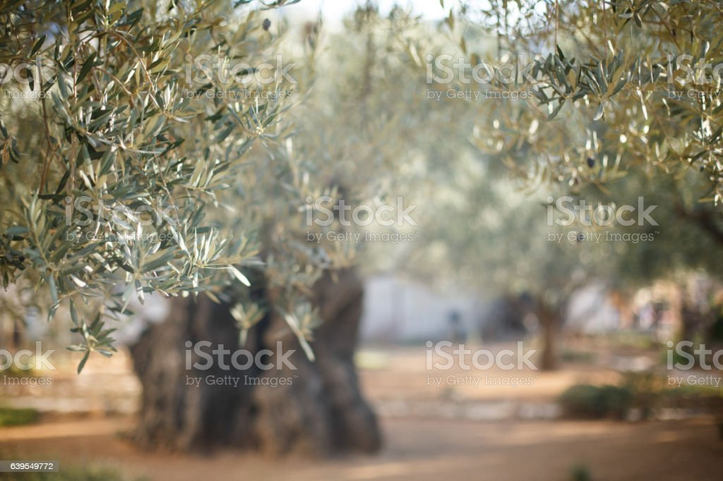 Garden of Gethsemane. Famous historic place stock photo
