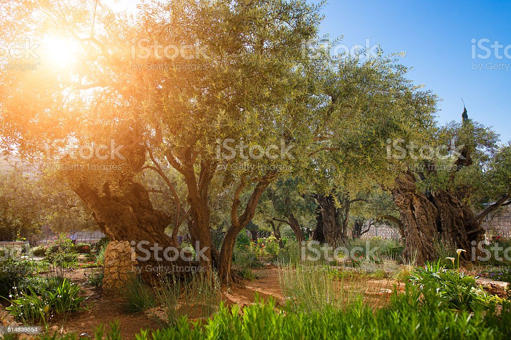 Garden of Gethsemane olive orchard. stock photo