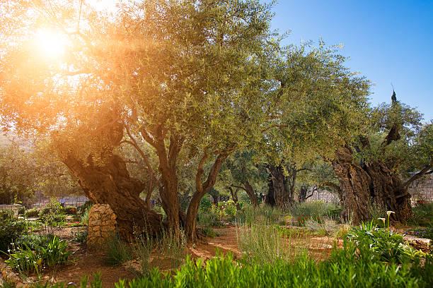 gethsemane olive obstgarten. - jerusalem stock-fotos und bilder