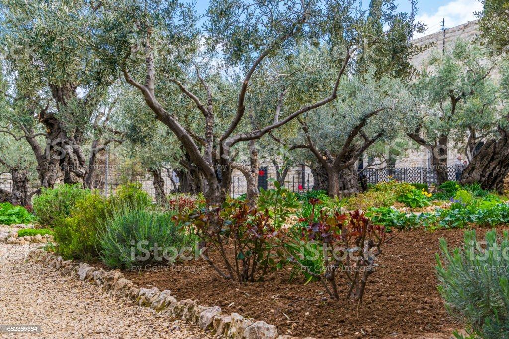 Garden of Gethsemane - olive trees stock photo