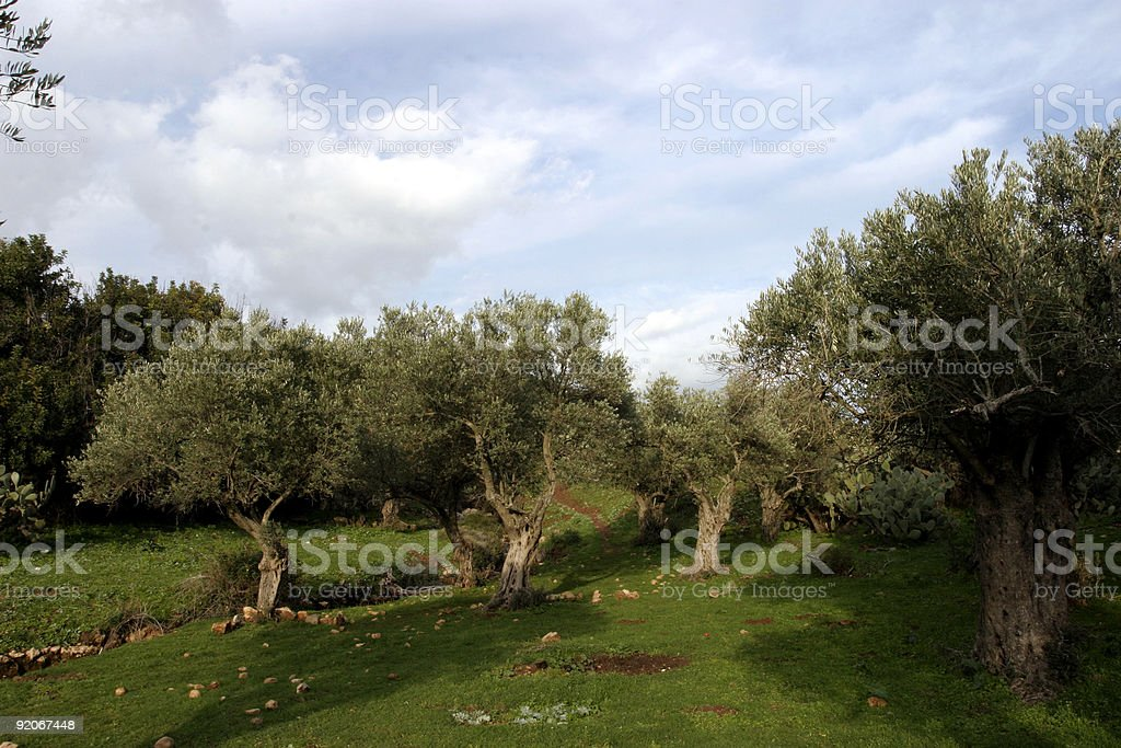 Garden of Gethsemane royalty-free stock photo