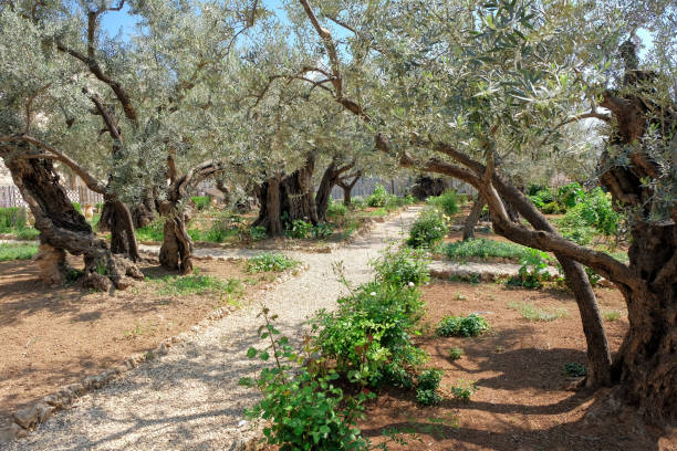 Garden of Gethsemane Garden of Gethsemane jerusalem old city stock pictures, royalty-free photos & images
