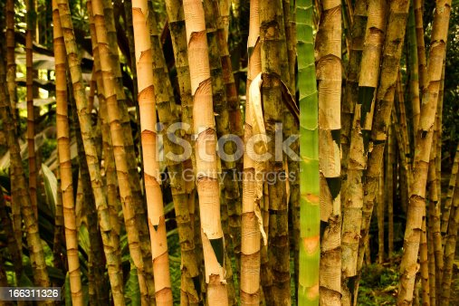 istock Garden of green and yellow Bamboos with canes forest 166311326