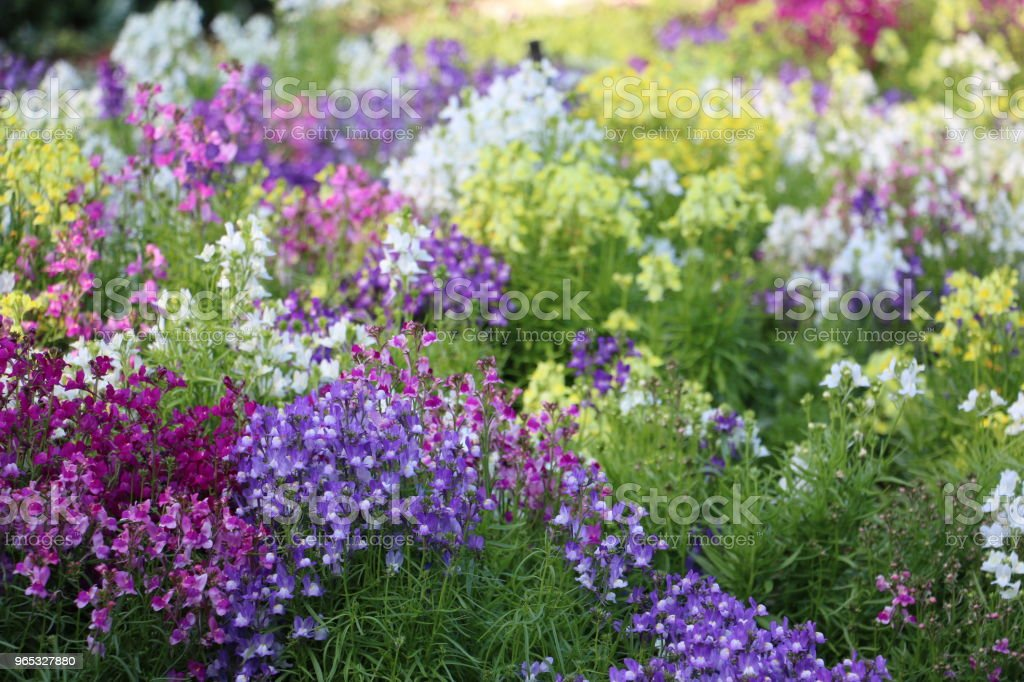 Garden of Linaria flowers in different shades zbiór zdjęć royalty-free