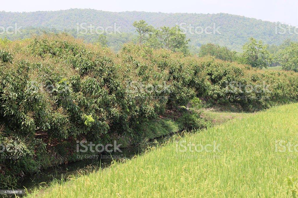 Garden of longan stock photo