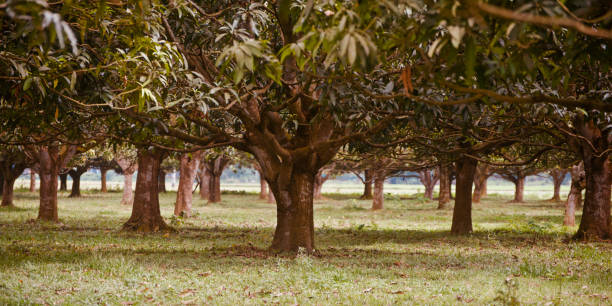 A garden of mango trees unique photo stock photo