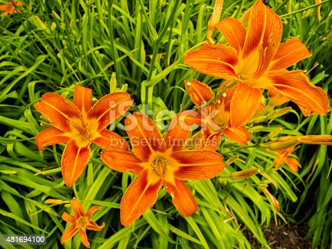 A group of beautiful orange day lillies in a green garden.