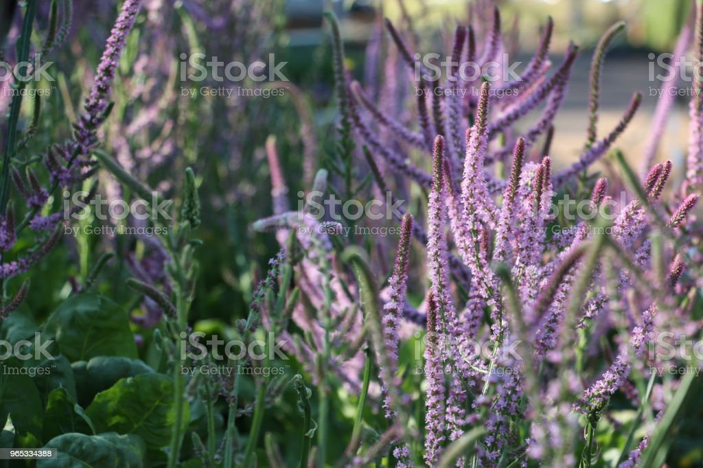 Garden of pretty pink flower stems in dappled light zbiór zdjęć royalty-free