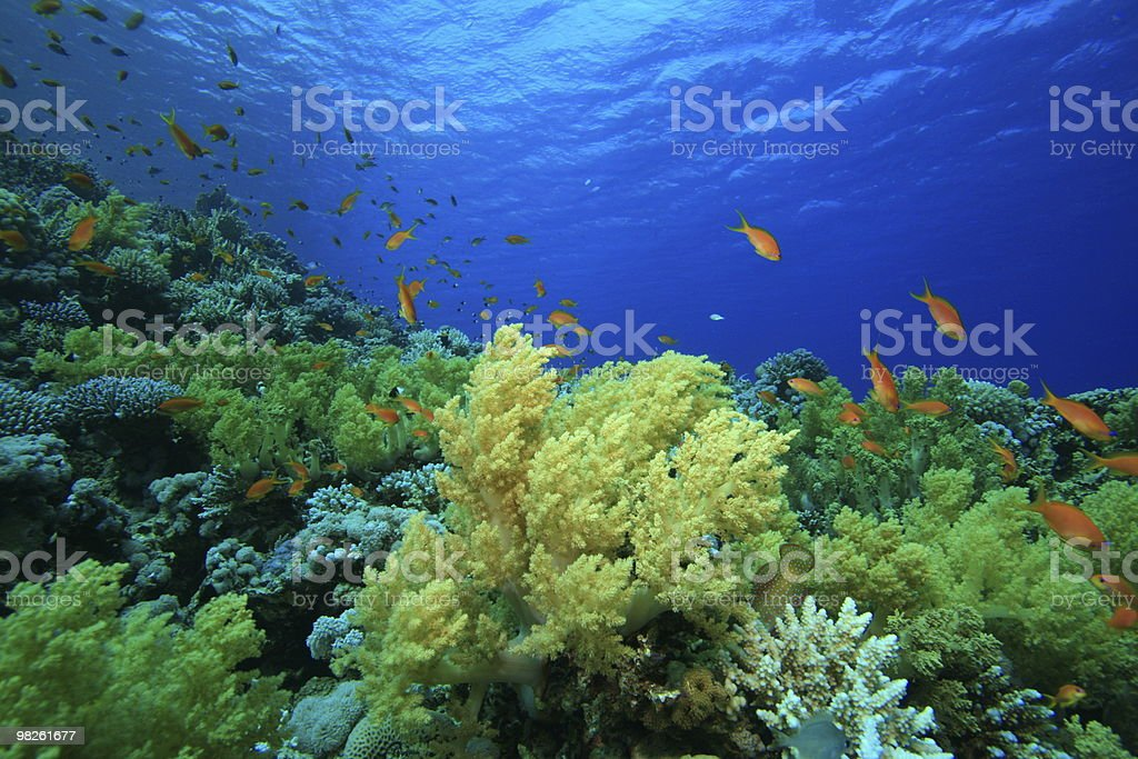 Garden of Soft Corals royalty-free stock photo