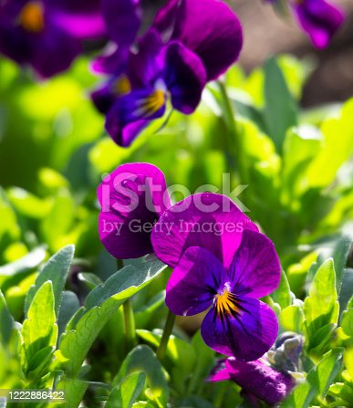 Bright Purple and Yellow blossoms in the flower garden