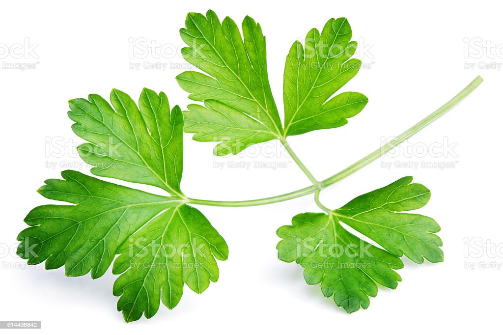 Garden parsley herb (cilantro) leaf isolated on white stock photo