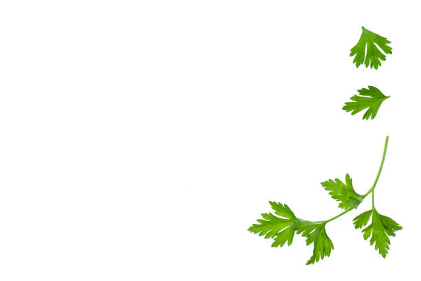 garden parsley leaf on white background stock photo