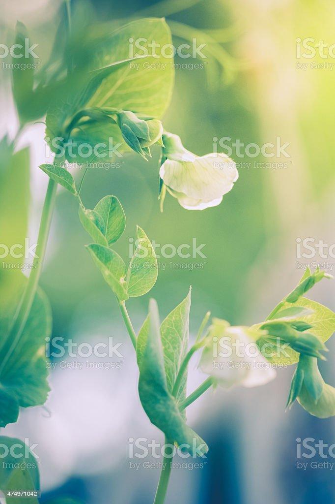 Garden pea plant blossom in morning sunshine stock photo