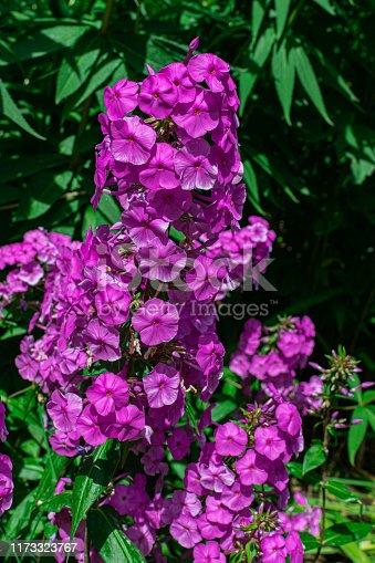 garden phlox (Phlox paniculata), blooming with sunlight and green vegetation background