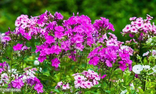 White, pink and purple phlox grow in profusion in a Cape Cod garden.