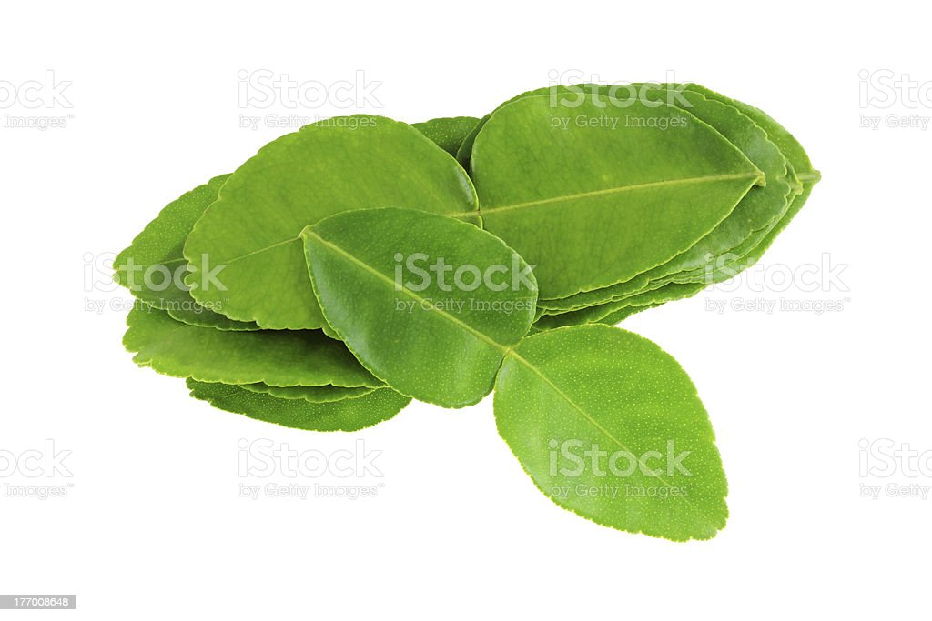 Garden picked Kaffir lime leaves stock photo