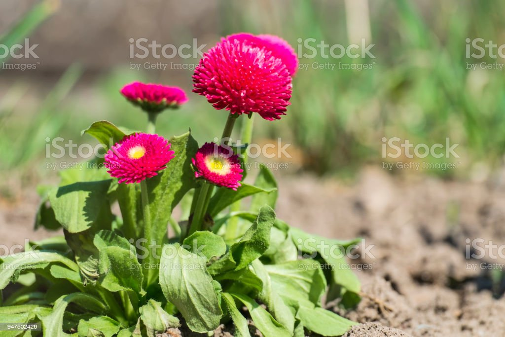 Garden pink English daisies (Bellis perennis) stock photo