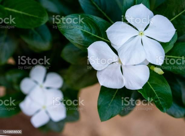 Garden plants vinca picture id1049658500?b=1&k=6&m=1049658500&s=612x612&h=rquajqsshes0divhpxwpoddobugbpa10f0i tojcrpc=