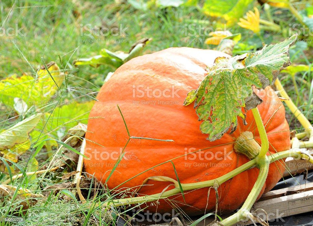 Garden Pumpkin stock photo