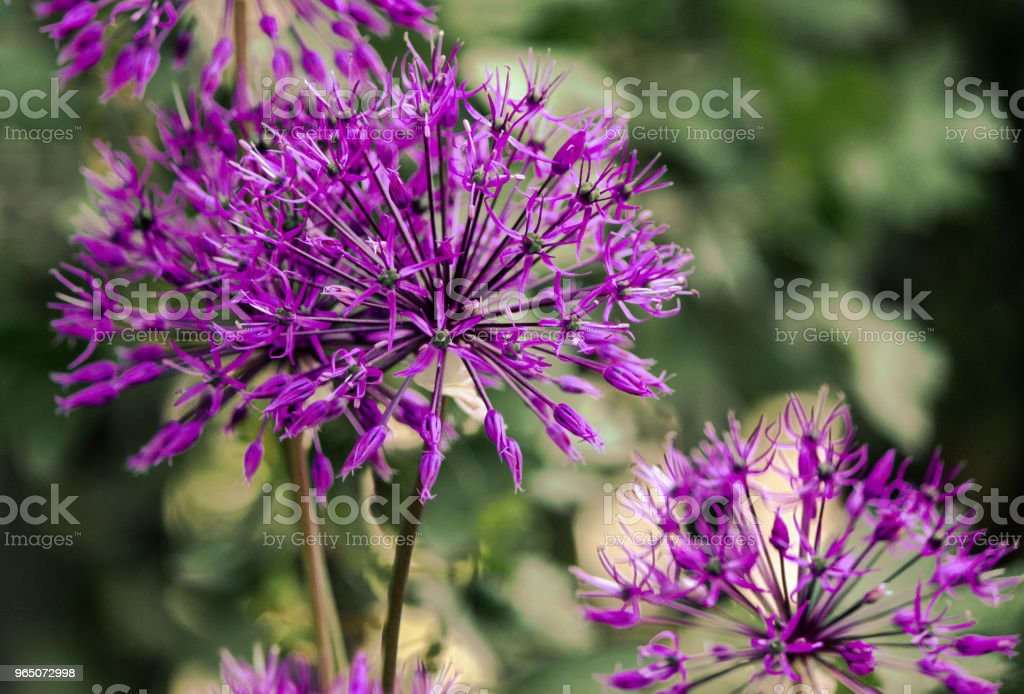 Garden, purple flowers. Great buds. royalty-free stock photo