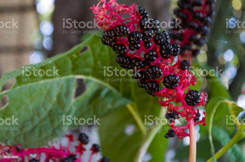 Garden red flower. Blossom in early autumn. Herbs stock photo