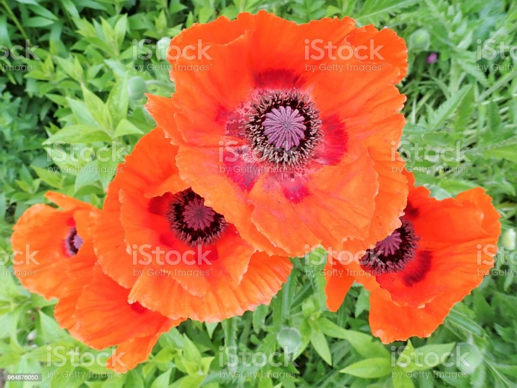 Garden red poppies in bloom royalty-free stock photo