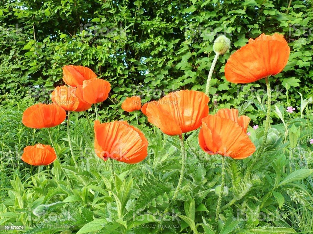 盛開的花園紅色罌粟花 - 免版稅夏天圖庫照片
