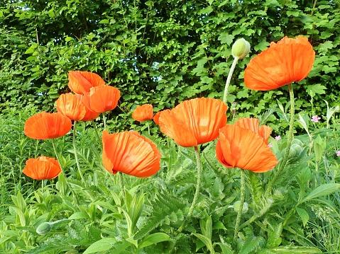 盛開的花園紅色罌粟花 照片檔及更多 夏天 照片
