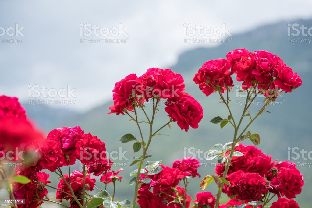 Garden red roses bush. Close-up view. Focus on flower - Royalty-free Back Stock Photo