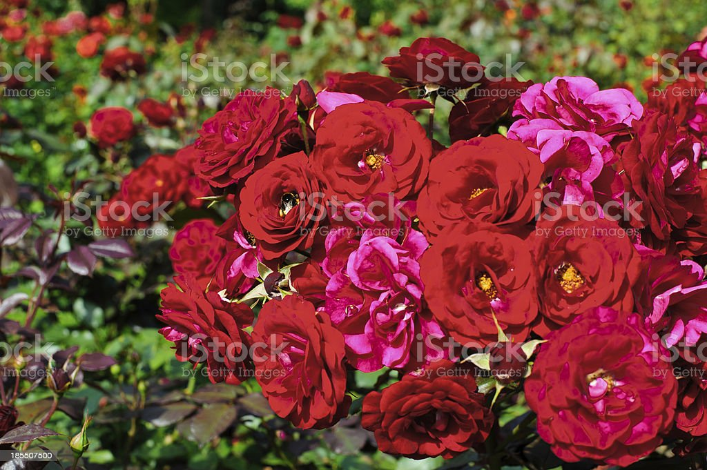 Garden red roses royalty-free stock photo