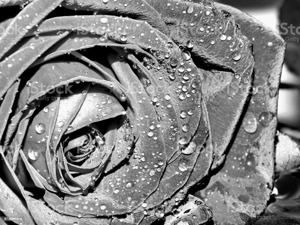 Garden rose on a black and white image royalty-free stock photo