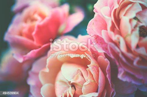 istock Garden rose 494539904
