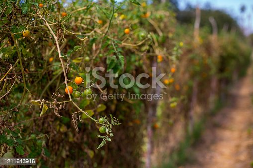 A garden row of tomatoes on a vine in the sunlight