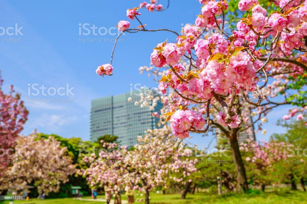 Garden Sakura Tokyo stock photo