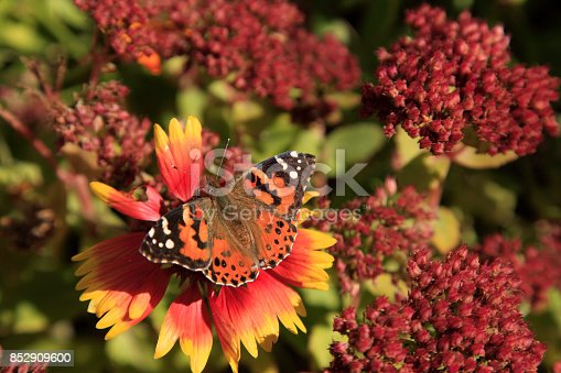 Painted Lady Butterfly with Fall Flowers of Sedum and Gallardia