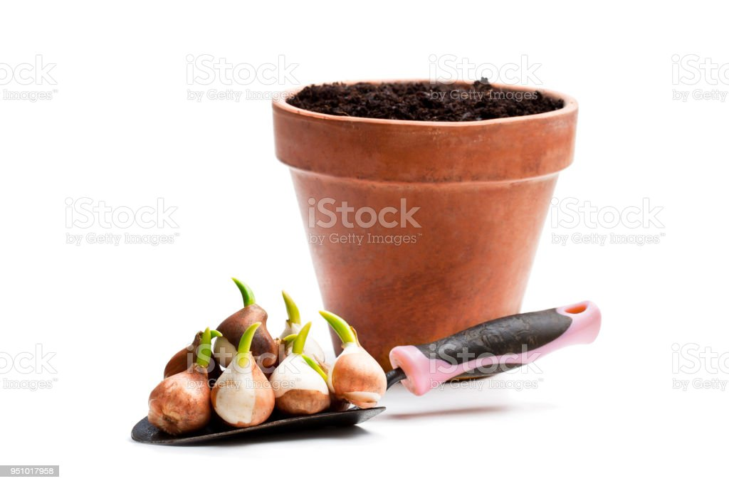 Garden  shovel full of tulip bulbs with flowerpot isolated on white stock photo