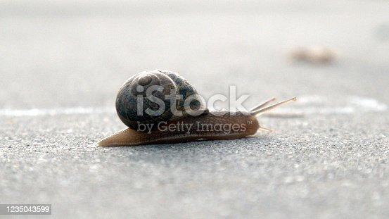Garden Snail Crawling Across a Cement Driveway