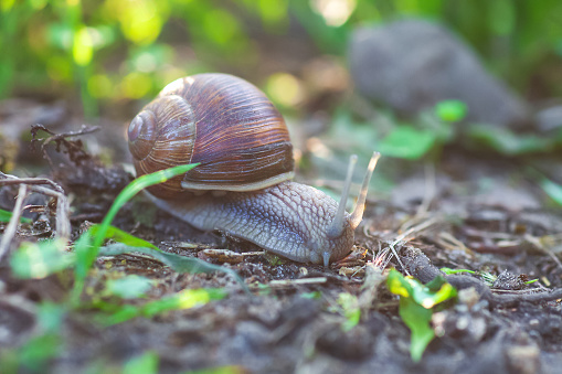 Garden snail crawling in spring forest, selective focus