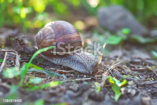 Garden snail crawling in spring forest. Large slimy slug in shell moving on ground, selective focus