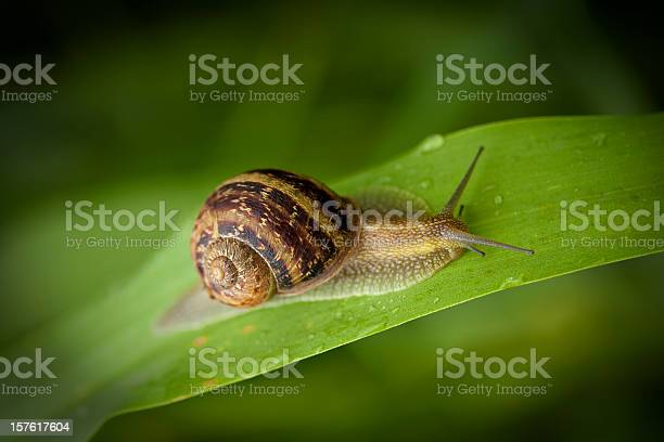 Garden snail crawling picture id157617604?b=1&k=6&m=157617604&s=612x612&h=q3eudr4pzmrw1bgf8avteqzefm8zzfopchzt8nx1yhe=