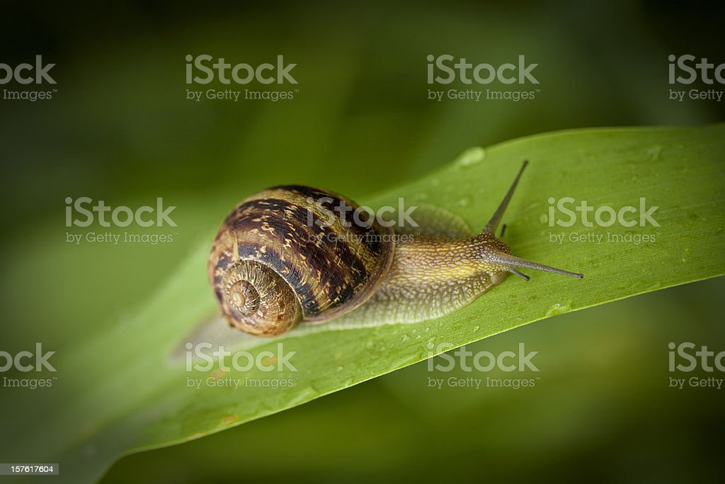garden snail crawling stock photo
