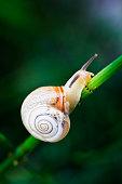 Garden snail crawling in a garden
