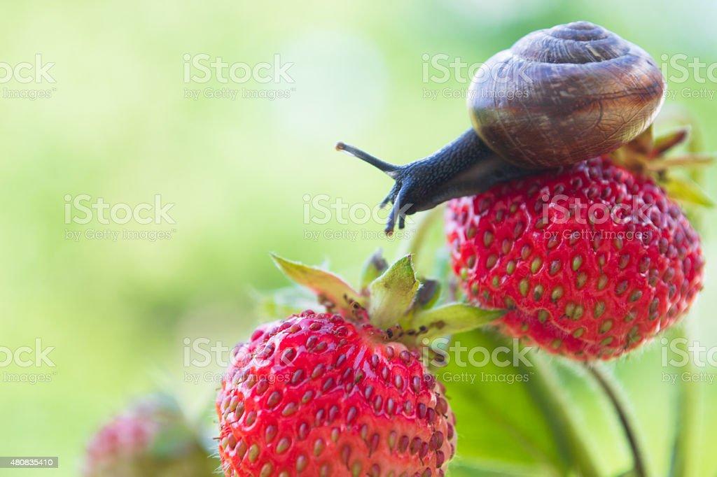 Garden snail creeping on a strawberry stock photo