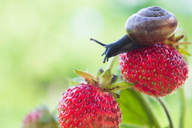 Garden snail creeping on a strawberry stock photo