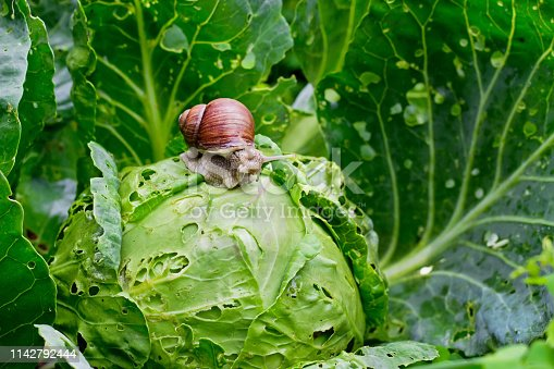 Garden snail (Helix aspersa) is sitting on cabbage in the garden, leaves with holes, eaten by pests