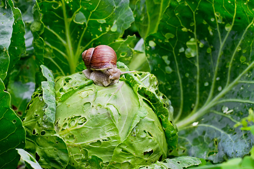 Garden snail (Helix aspersa) is sitting on cabbage in the garden.