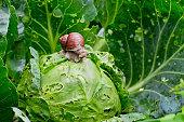 istock Garden snail (Helix aspersa) is sitting on cabbage in the garden. 1142792444