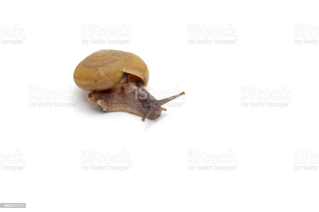 Garden snail isolated on white background. foto de stock royalty-free