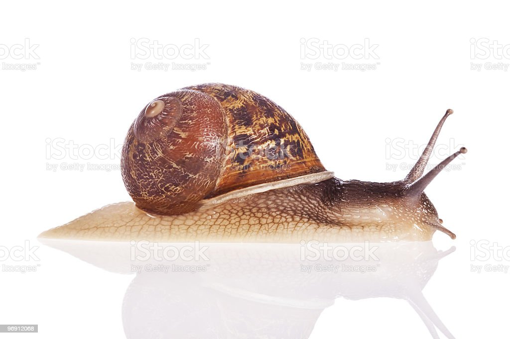 Garden snail isolated on white background royalty-free stock photo