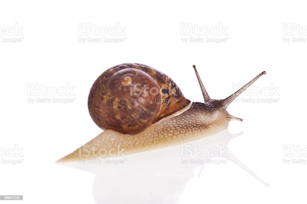 Garden snail isolated on white background royalty-free stock photo